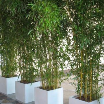 bambus aurea 2 m hoch im asa kubus bambus 1119125845. Black Bedroom Furniture Sets. Home Design Ideas