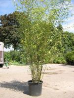 Bambus / Phyllostachys 