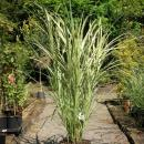China Schilf / Miscanthus 